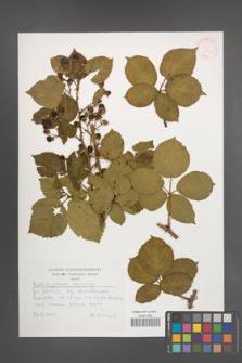 Rubus plicatus [KOR 30533]