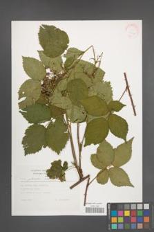 Rubus plicatus [KOR 30567]