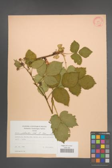Rubus plicatus [KOR 22770]