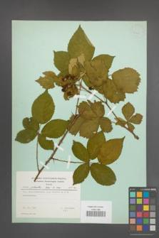 Rubus plicatus [KOR 23719]