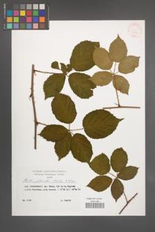 Rubus plicatus [KOR 29874]