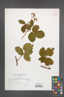 Rubus plicatus [KOR 39641]