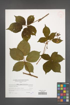 Rubus plicatus [KOR 39787]