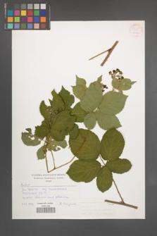 Rubus plicatus [KOR 54255]