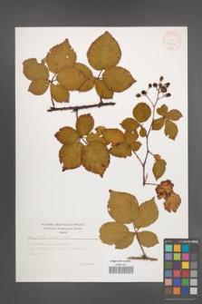 Rubus plicatus [KOR 35509]