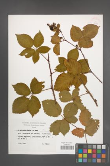 Rubus plicatus [KOR 29804]