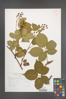 Rubus plicatus [KOR 30534]