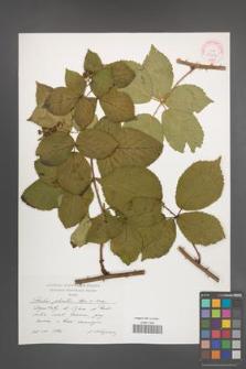 Rubus plicatus [KOR 29239]