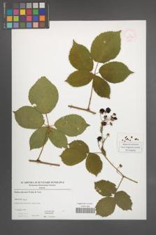 Rubus plicatus [KOR 52906]