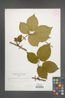Rubus plicatus [KOR 25650]