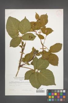 Rubus plicatus [KOR 25223]