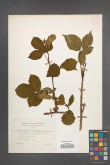 Rubus plicatus [KOR 25408]