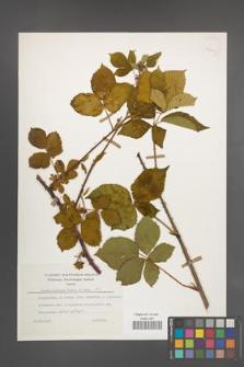 Rubus plicatus [KOR 25422]