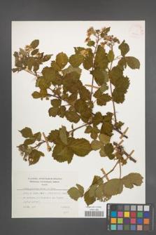 Rubus plicatus [KOR 24964]