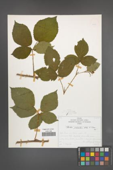 Rubus plicatus [KOR 50330]