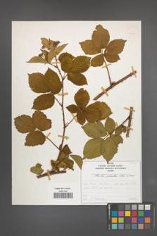 Rubus plicatus [KOR 50360]