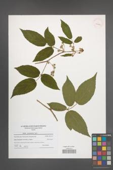 Rubus posnaniensis [KOR 41206]