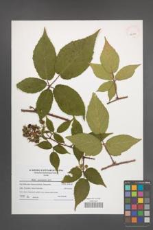 Rubus posnaniensis [KOR 41083]