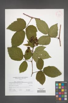 Rubus posnaniensis [KOR 41611]