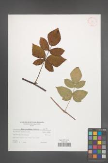 Rubus pseudidaeus [KOR 38828]