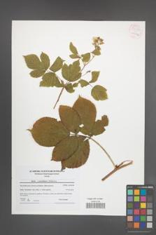 Rubus pseudidaeus [KOR 54285]