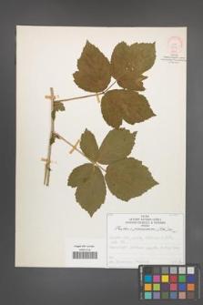 Rubus pseudidaeus [KOR 52118]