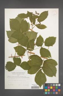Rubus pseudoidaeus [KOR 24927]