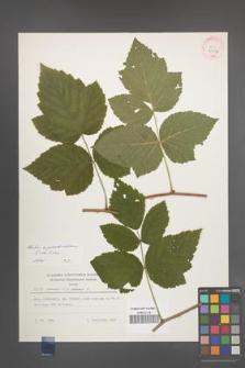Rubus pseudoidaeus [KOR 30032]