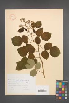 Rubus pseudoidaeus [KOR 10621]