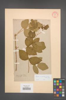 Rubus pseudoidaeus [KOR 54877]