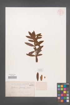 Berberis julianae [KOR 54853]