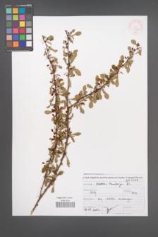 Berberis thunbergii [KOR 46930]