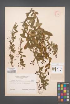 Berberis vulgaris [KOR 5984]