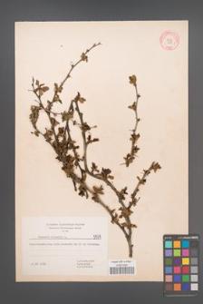 Berberis vulgaris [KOR 5579]