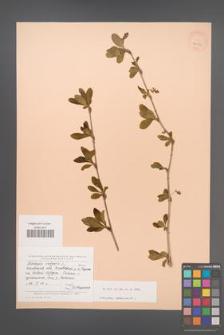 Berberis vulgaris [KOR 24039]