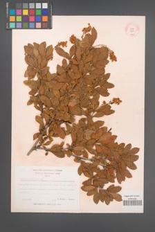 Berberis vulgaris [KOR 12070]