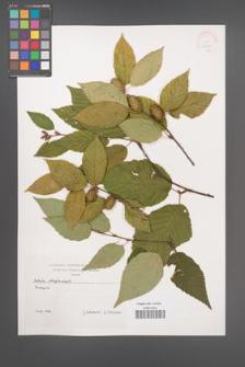Betula alleghaniensis [KOR 38098]