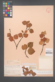 Betula baicalensis [KOR 23316]