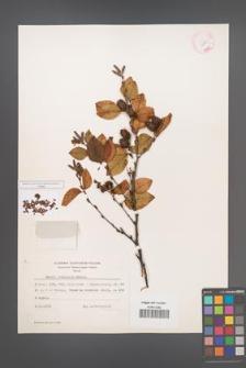 Betula chinensis [KOR 12132]