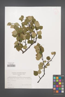Betula carpatica [KOR 48116]