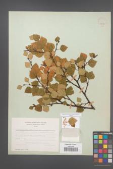 Betula carpatica [KOR 48098]