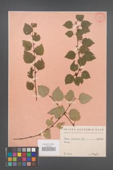 Betula corylifolia [KOR 648]