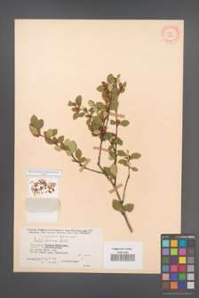 Betula fruticosa [KOR 12104]