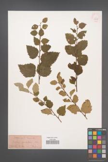 Betula glandulosa [KOR 33828]