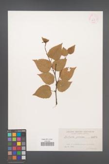 Betula grossa [KOR 625]