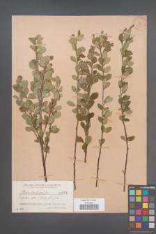 Betula humilis [KOR 623]