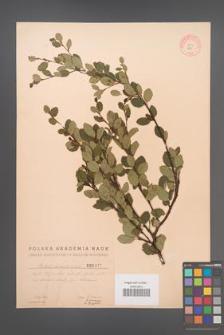 Betula humilis [KOR 2465]