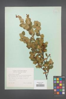 Betula humilis [KOR 23876]
