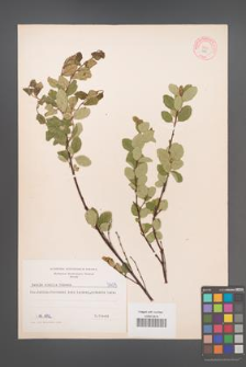 Betula humilis [KOR 5405]
