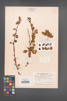 Berberis sphaerocarpa [KOR 12050]